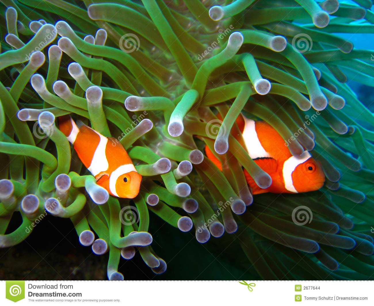 Tropical Clown Fish Coral Stock Images - Image: 2677644
