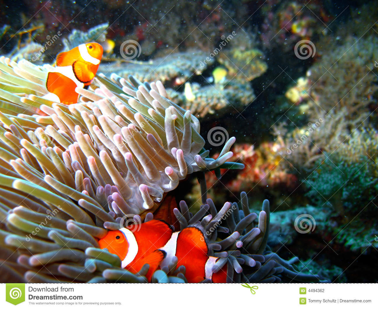 Tropical Clown Fish Family Stock Photography Image 4494362