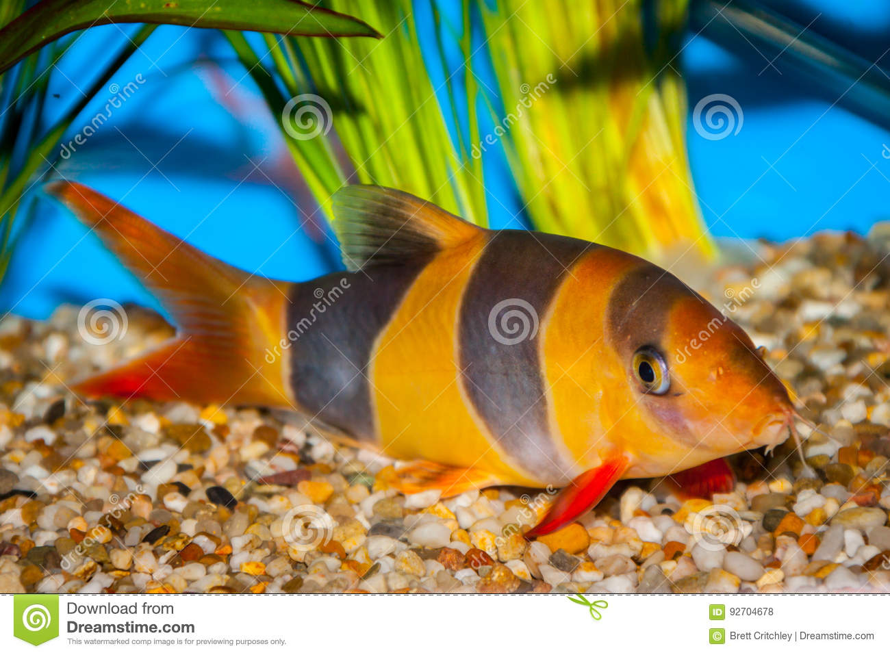 Tropical Clown Loach Fish Stock Photo Image Of Colorful 92704678