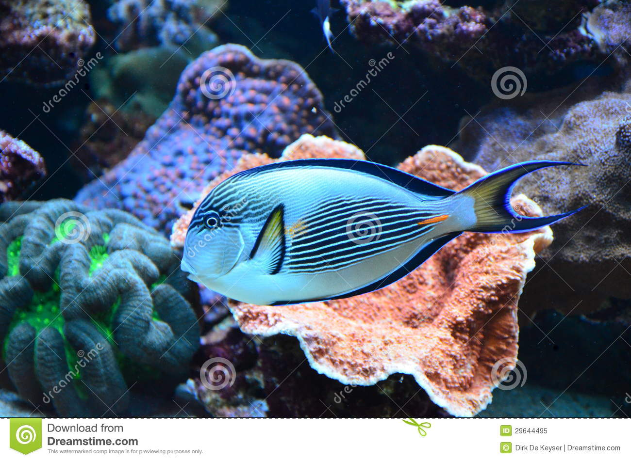 Tropical coral reef fish royalty free stock photo image for Reef aquarium fish