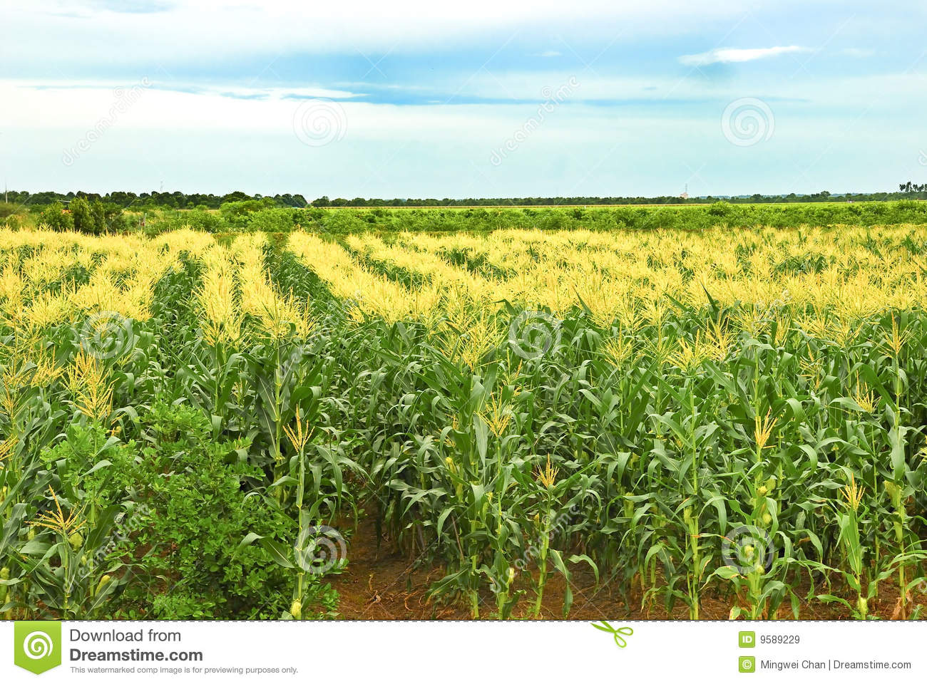Tropical Corn Farm Royalty Free Stock Images - Image: 9589229