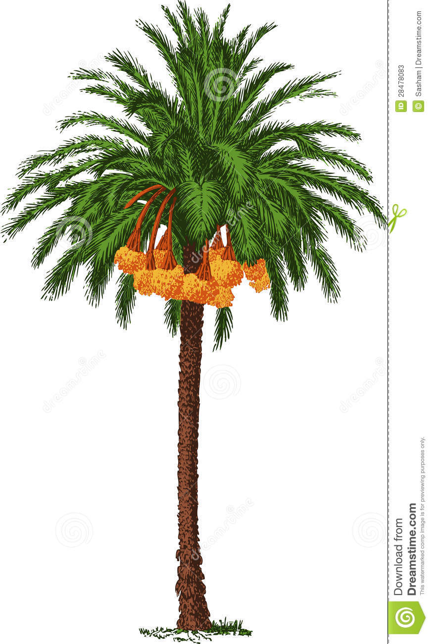 Tropical Date Palm Vector Stock Vector Illustration Of Isolated