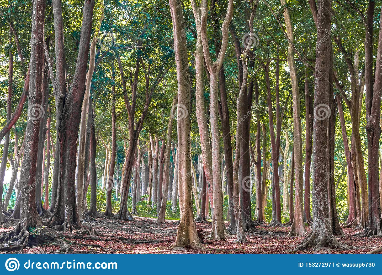 Tropical Evergreen Forest with tall trees, on sunny day of Autumn Season. Fallen leaves are decomposing, has covered all ground.