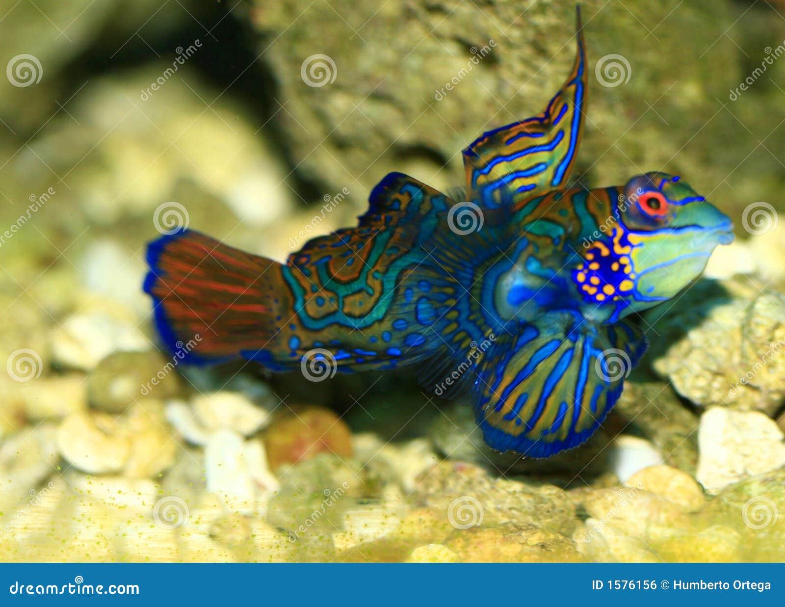 Tropical Fish Royalty Free Stock Image - Image: 1576156