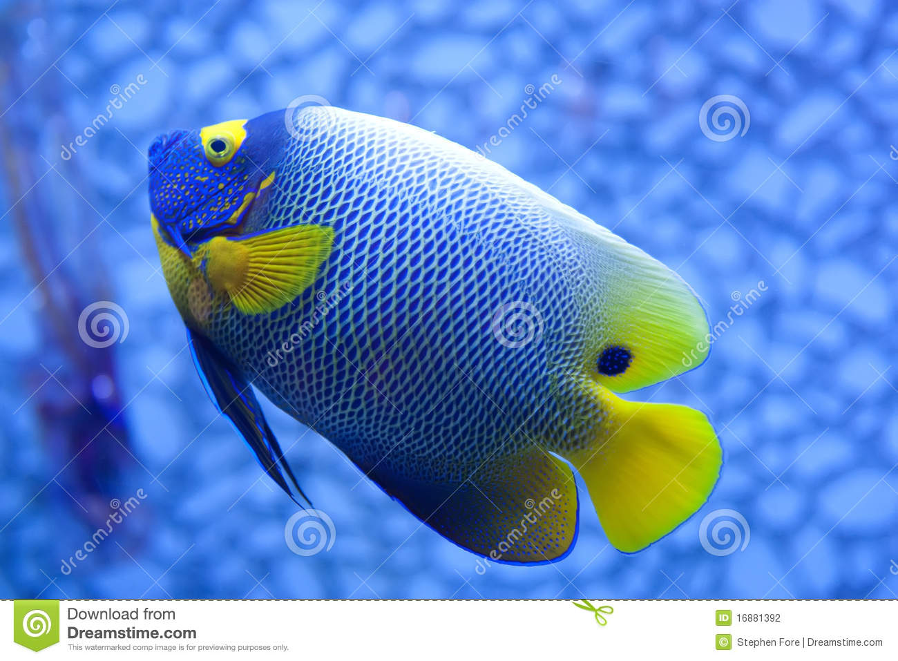 Tropical fish stock photo image of fish blue yellow for Image of fish