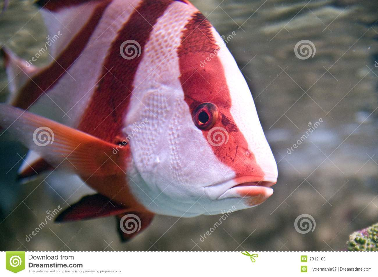 Tropical fish royalty free stock images image 7912109 for Red saltwater fish