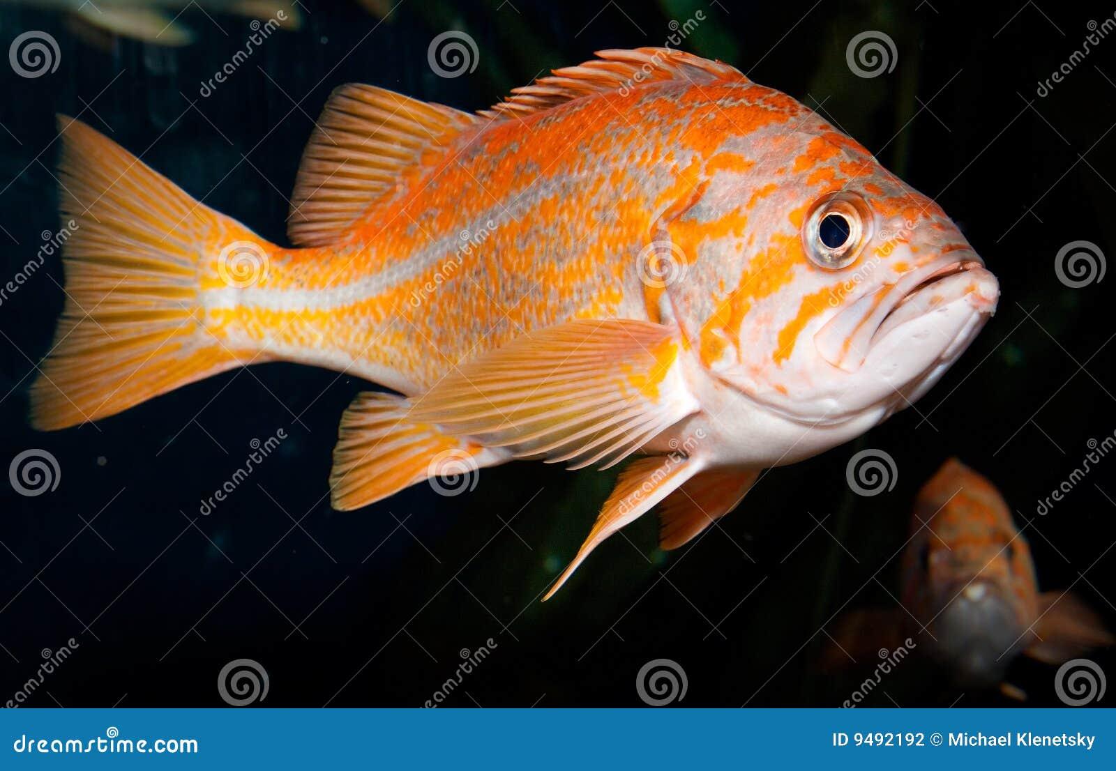 Orange saltwater fish