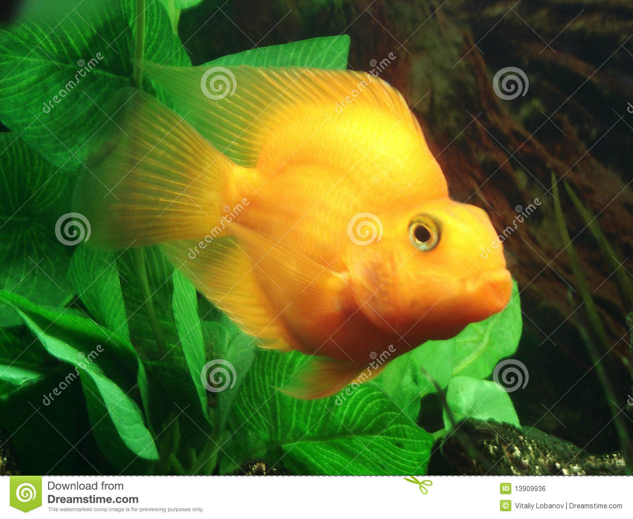 Tropical fish cichlasoma sp yellow stock photo for Yellow tropical fish