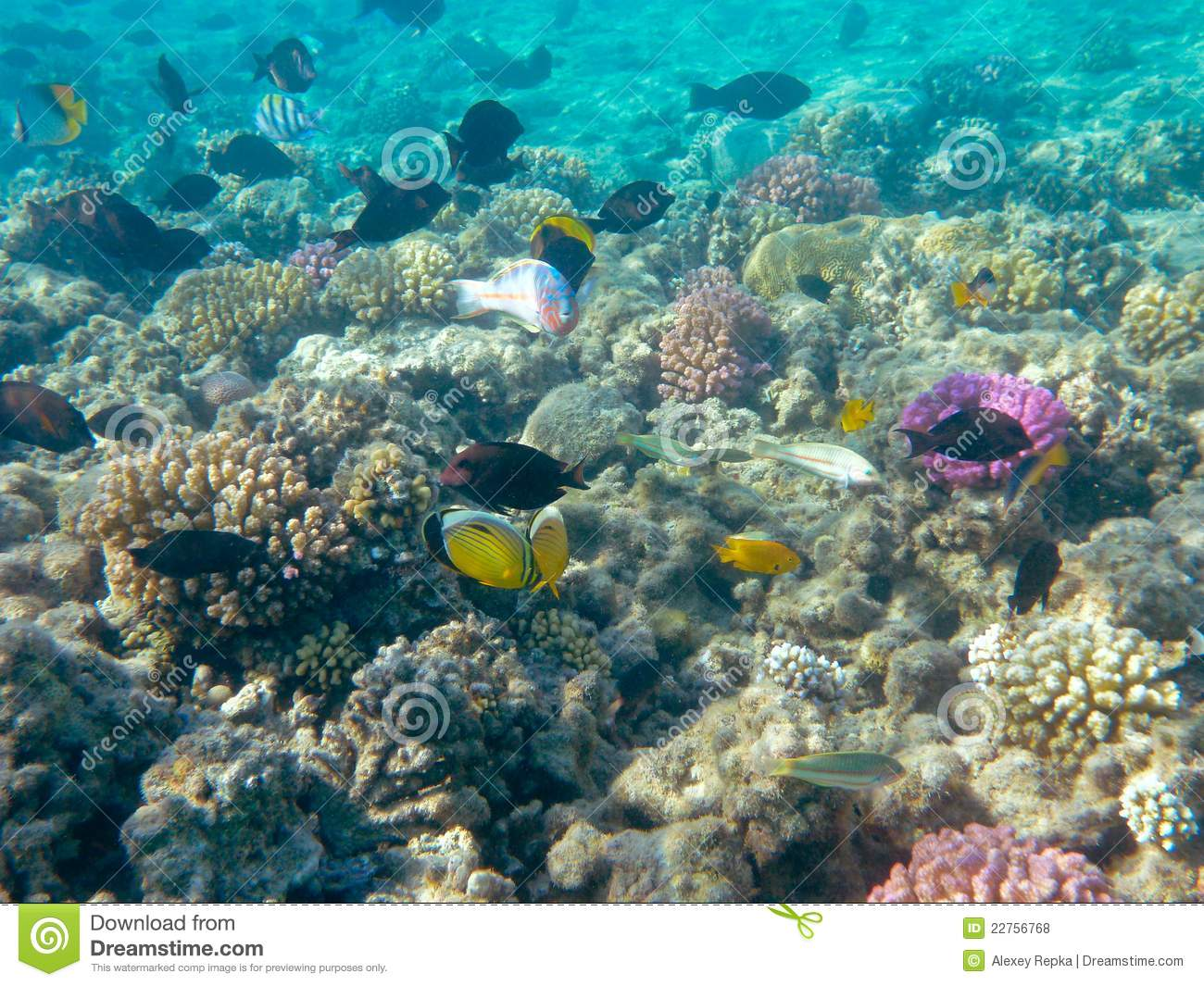 Tropical fish and coral reef in sunlight royalty free for Reef tropical fish