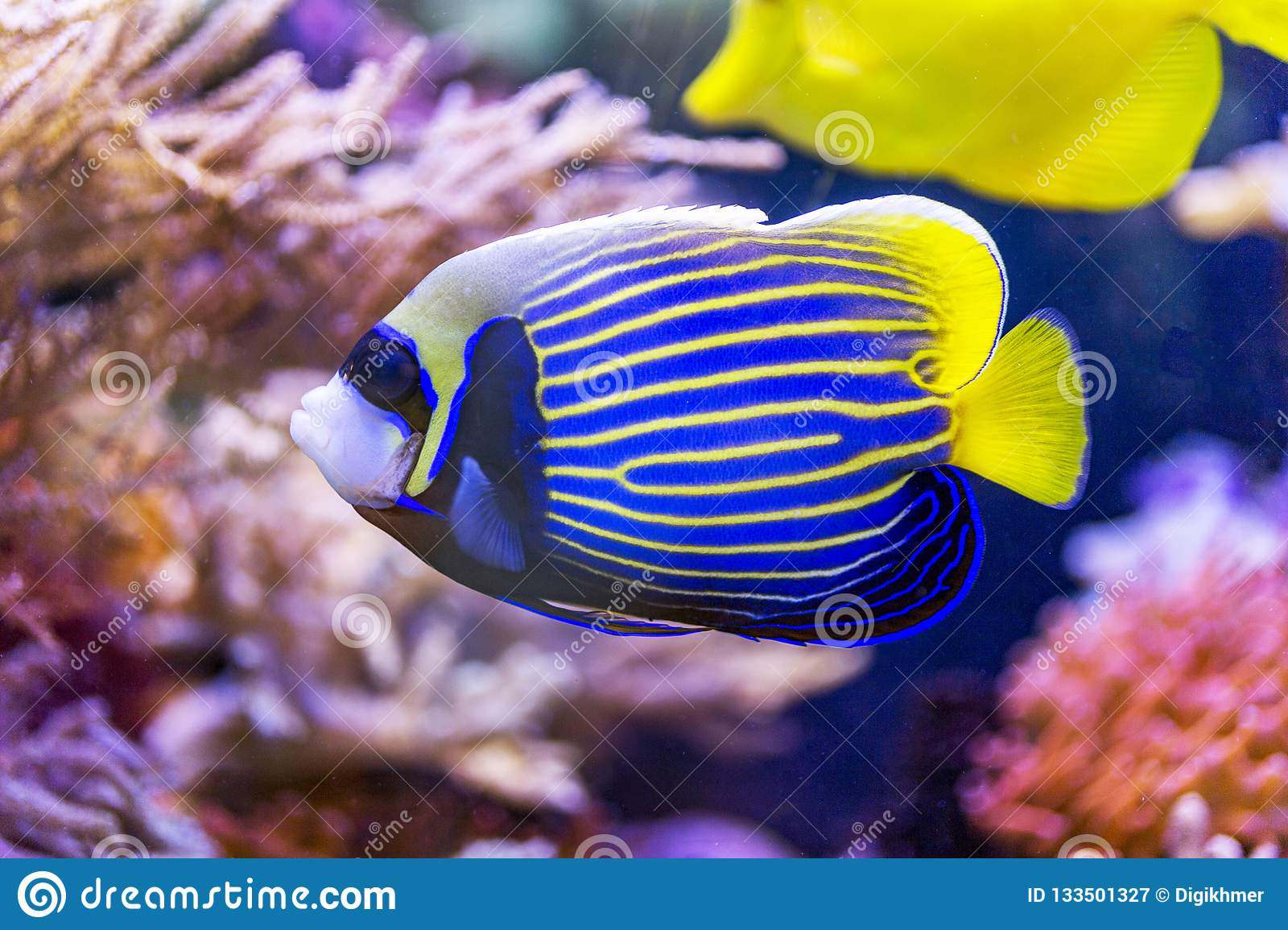 Yellow and blue fish angel