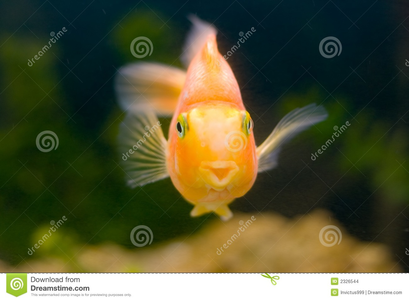 Tropical fish gold smiling stock images image 2326544 for Dreaming of fish