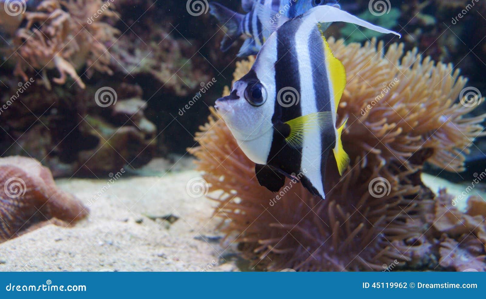 Tropical Fish Moorish Idol Corals Moorish Idol In The Sea And