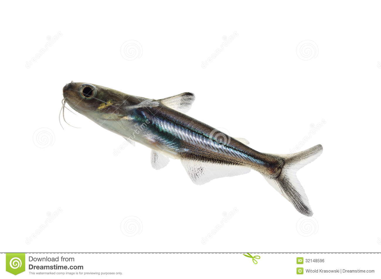 Tropical fish pangasius hypophthalmus stock photo image for What is pangasius fish