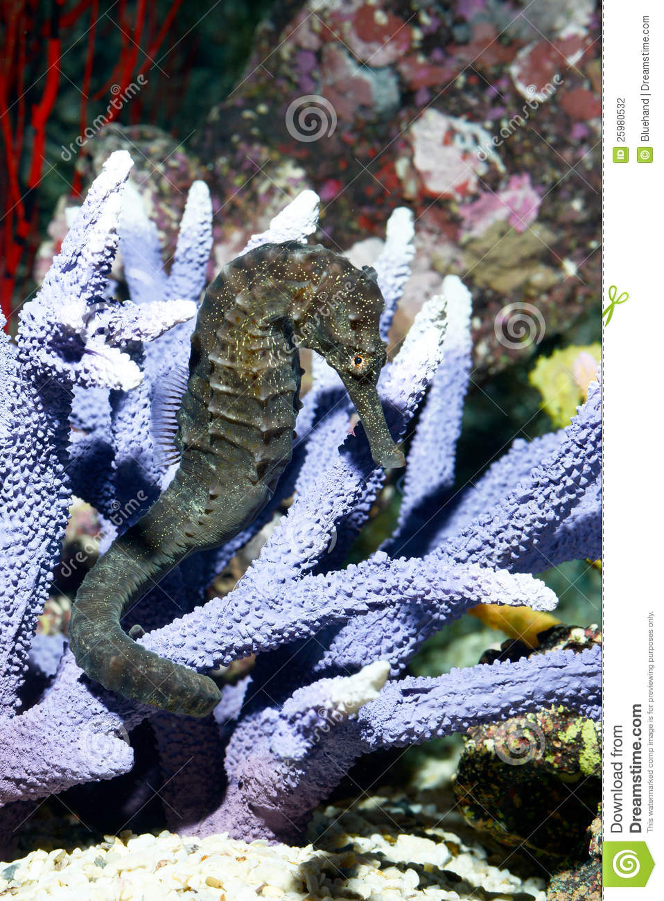 Tropical fish seahorse stock photography image 25980532 for Is a seahorse a fish