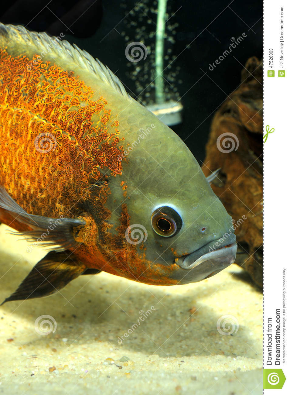 Fish stock photo image 47526803 for Small tropical fish