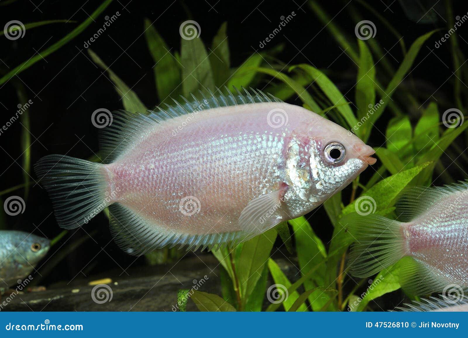 tropical-fish-small-pink-aquarium-47526810.jpg