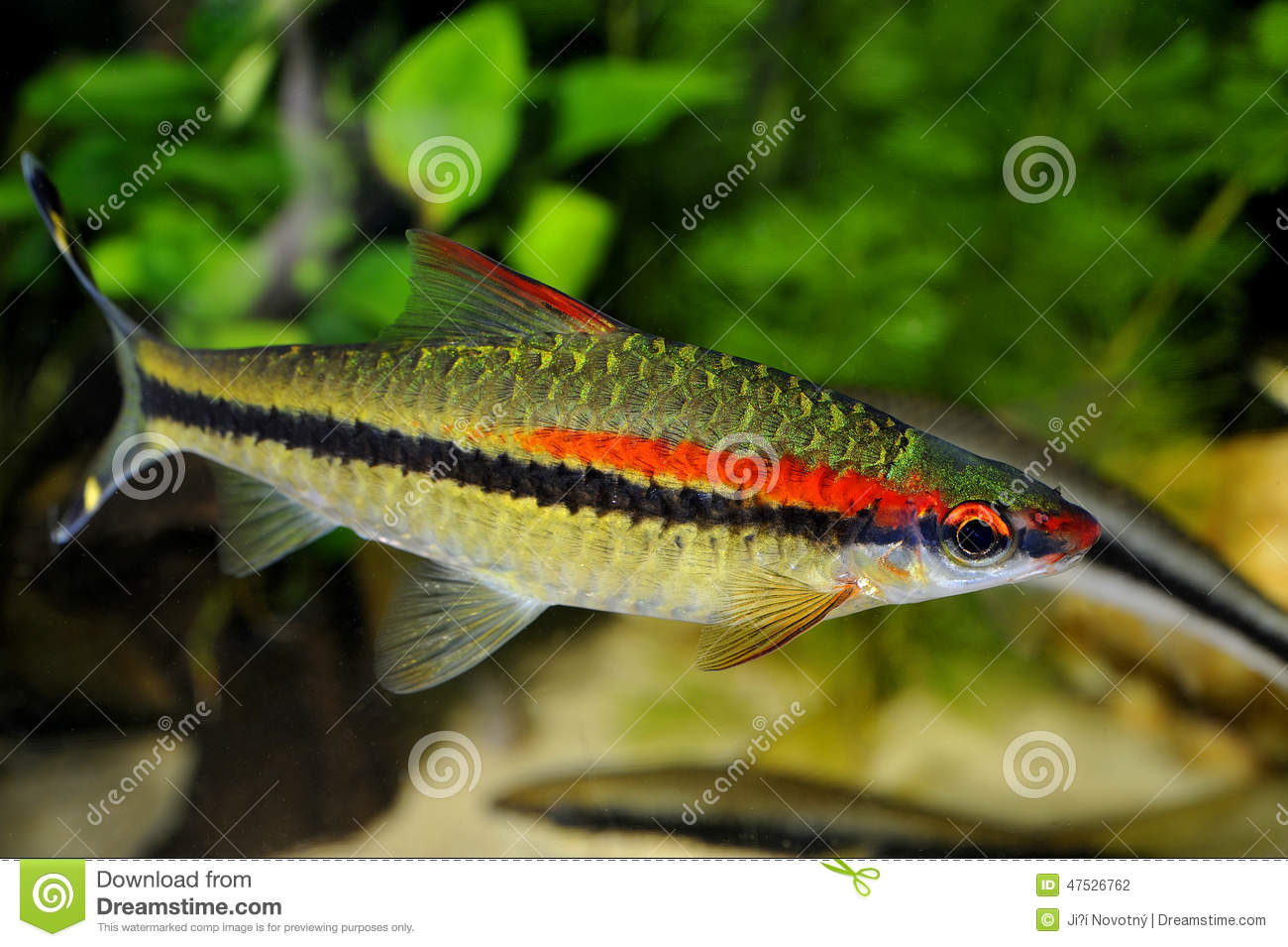 Fish stock photo image 47526762 for Small pet fish