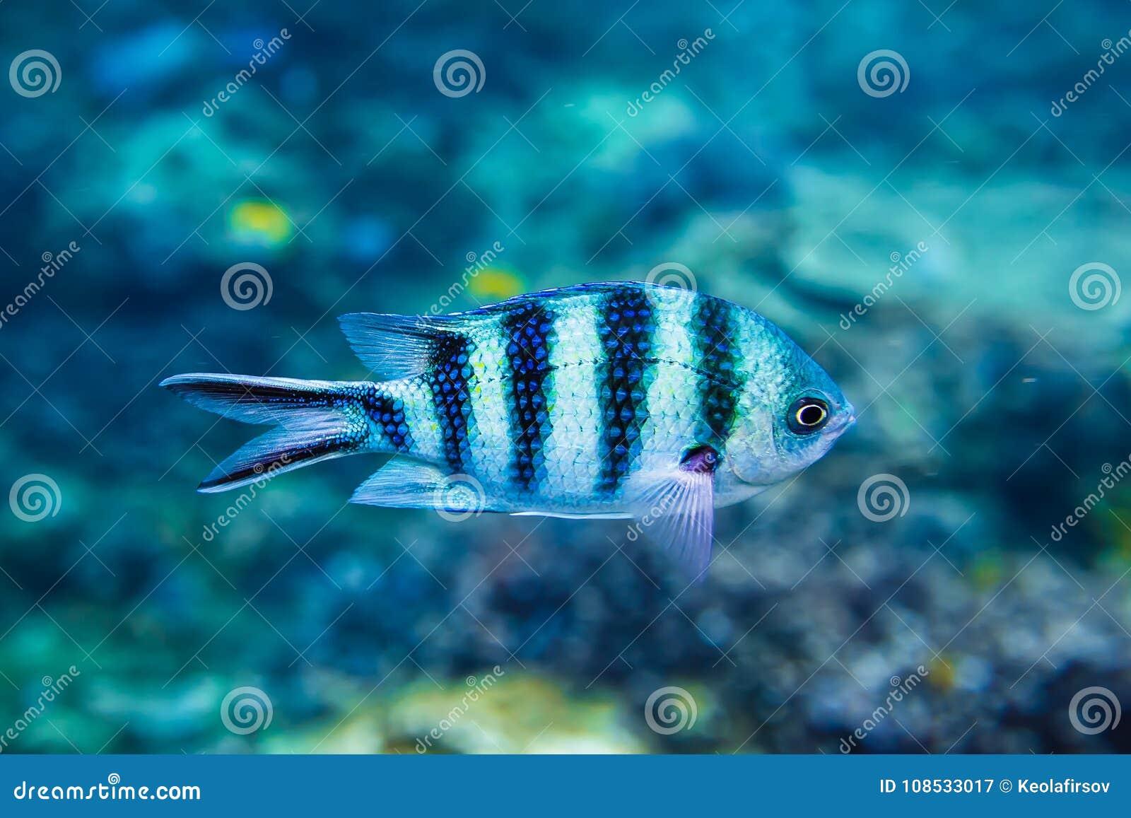 Tropical Fish Is Underwater Sea Life In Indian Ocean