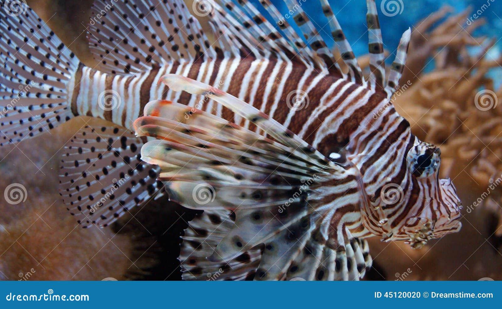 Tropical Fish Zebra - Lionfish. Striped Spines. Poisonous. Lives ...