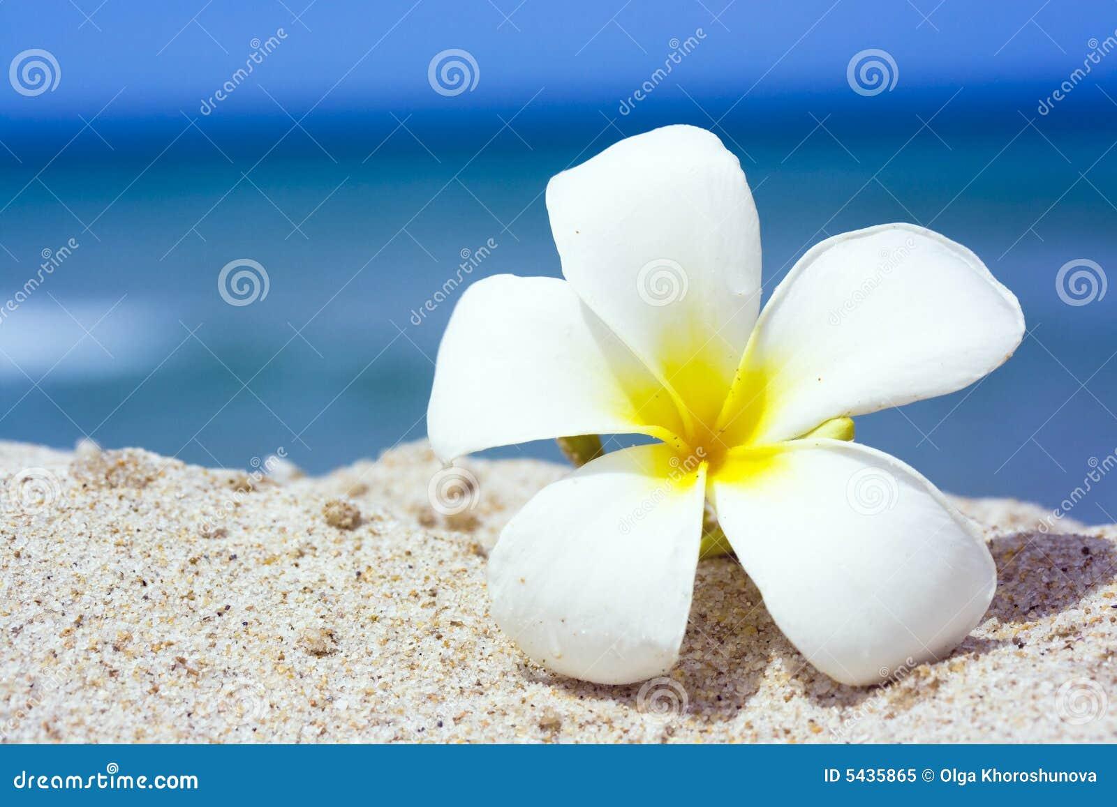 Frangipani spa flowers stock photo image 14654190 - Tropical Flower Royalty Free Stock Photo