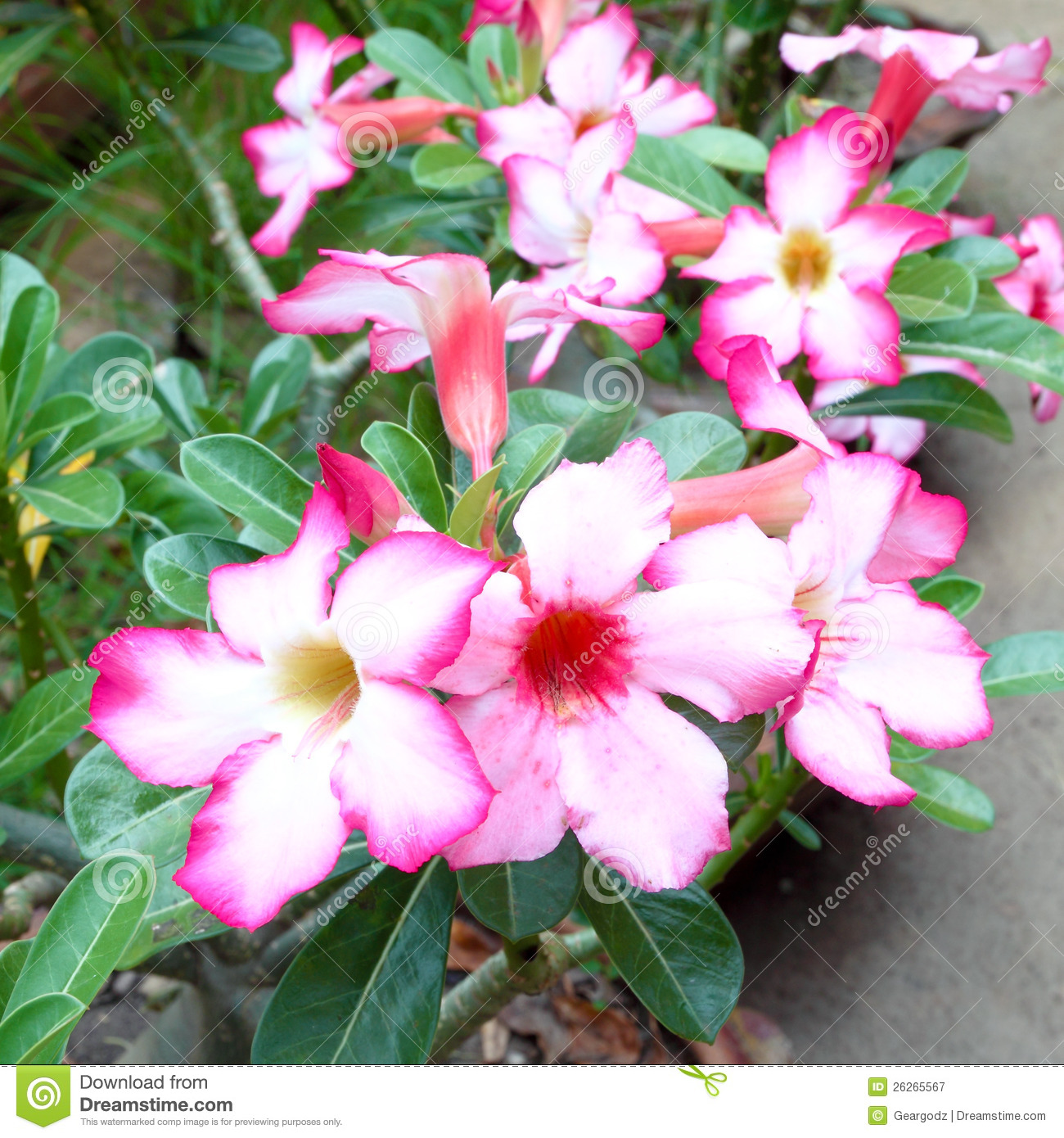 tropical flower pink adenium royalty free stock photography, Beautiful flower