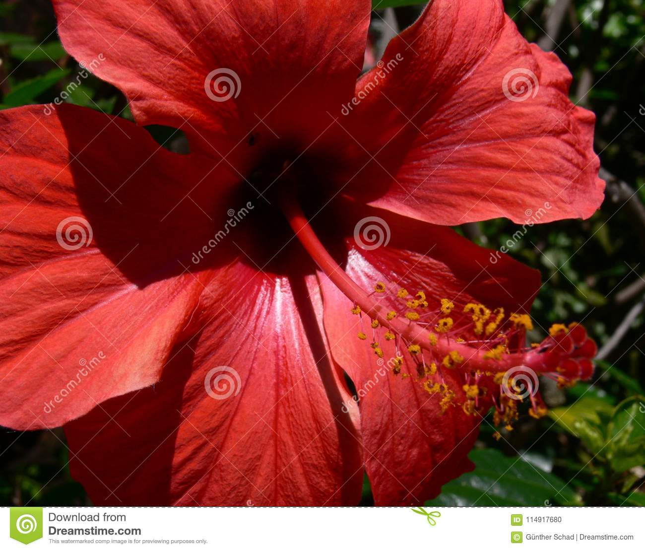 Hibiscus flower with pistil stamp ii stock photo image of garden royalty free stock photo izmirmasajfo