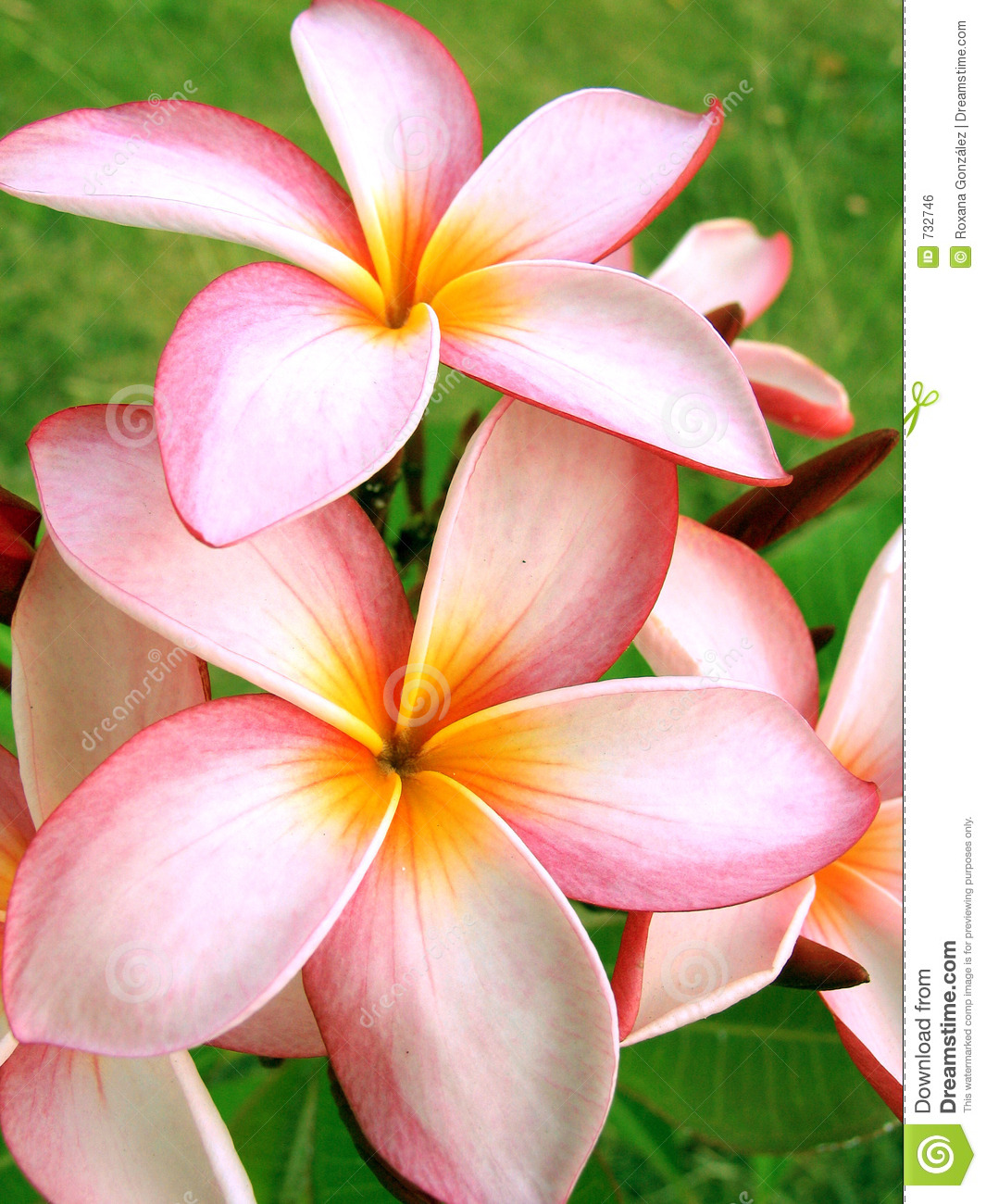 Tropical Flowers Royalty Free Stock Image - Image: 732746