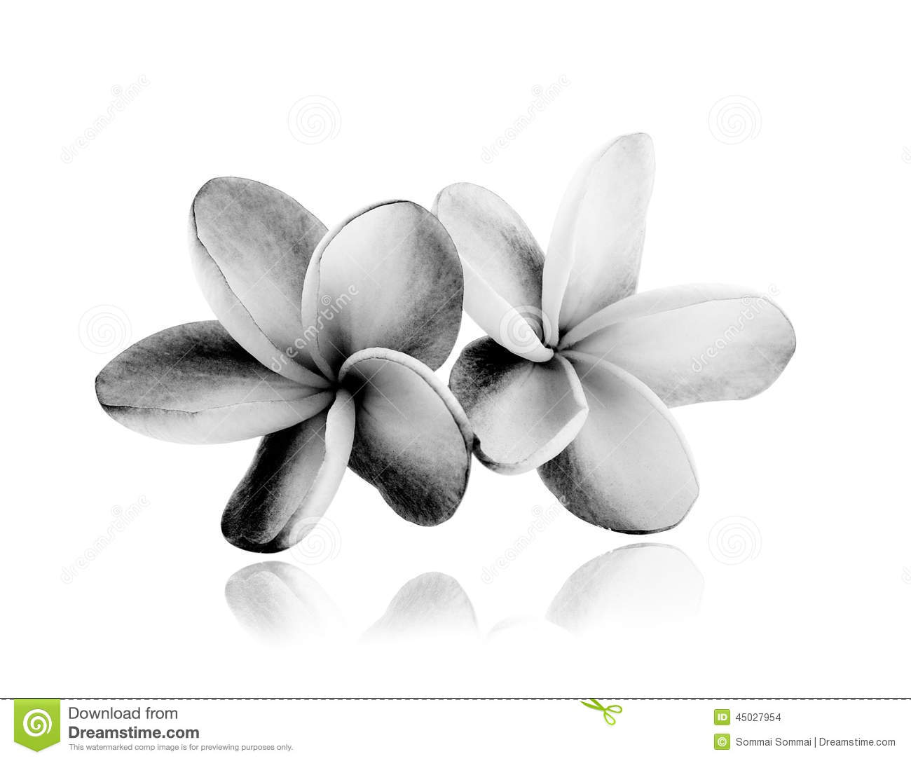 tropical flowers frangipani plumeria black and white