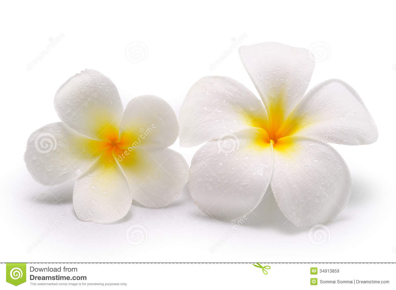 Tropical flowers frangipani plumeria on white background stock tropical flowers frangipani plumeria on white background mightylinksfo