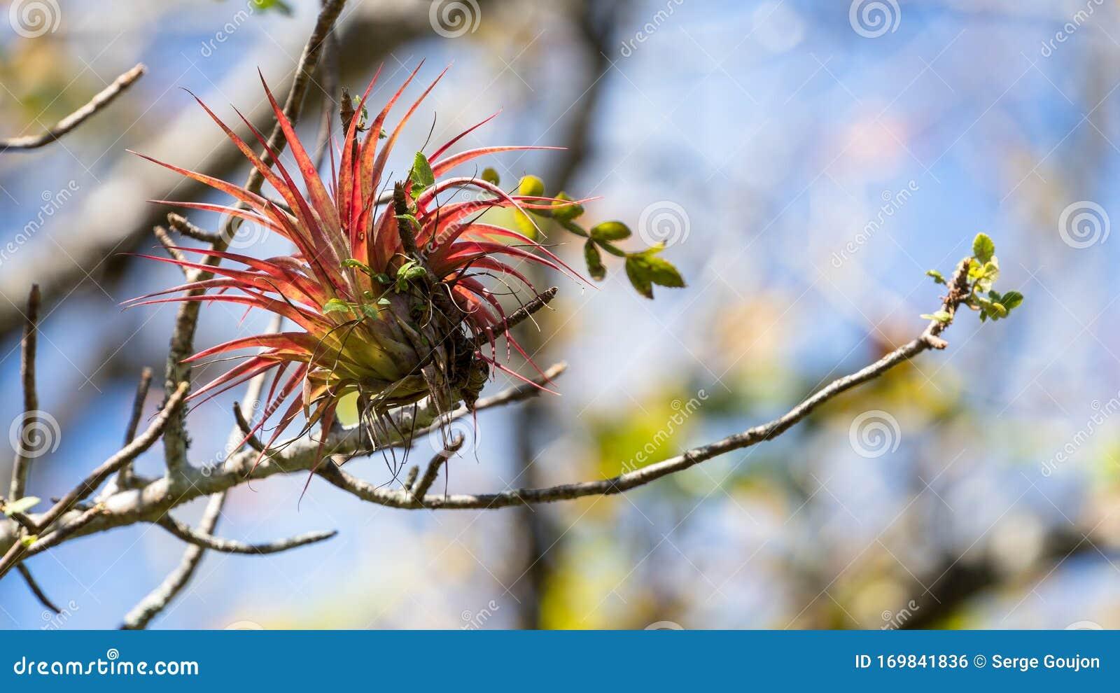 Red Tillandsia In A Rainforest Tree In Costa Rica Stock Photo