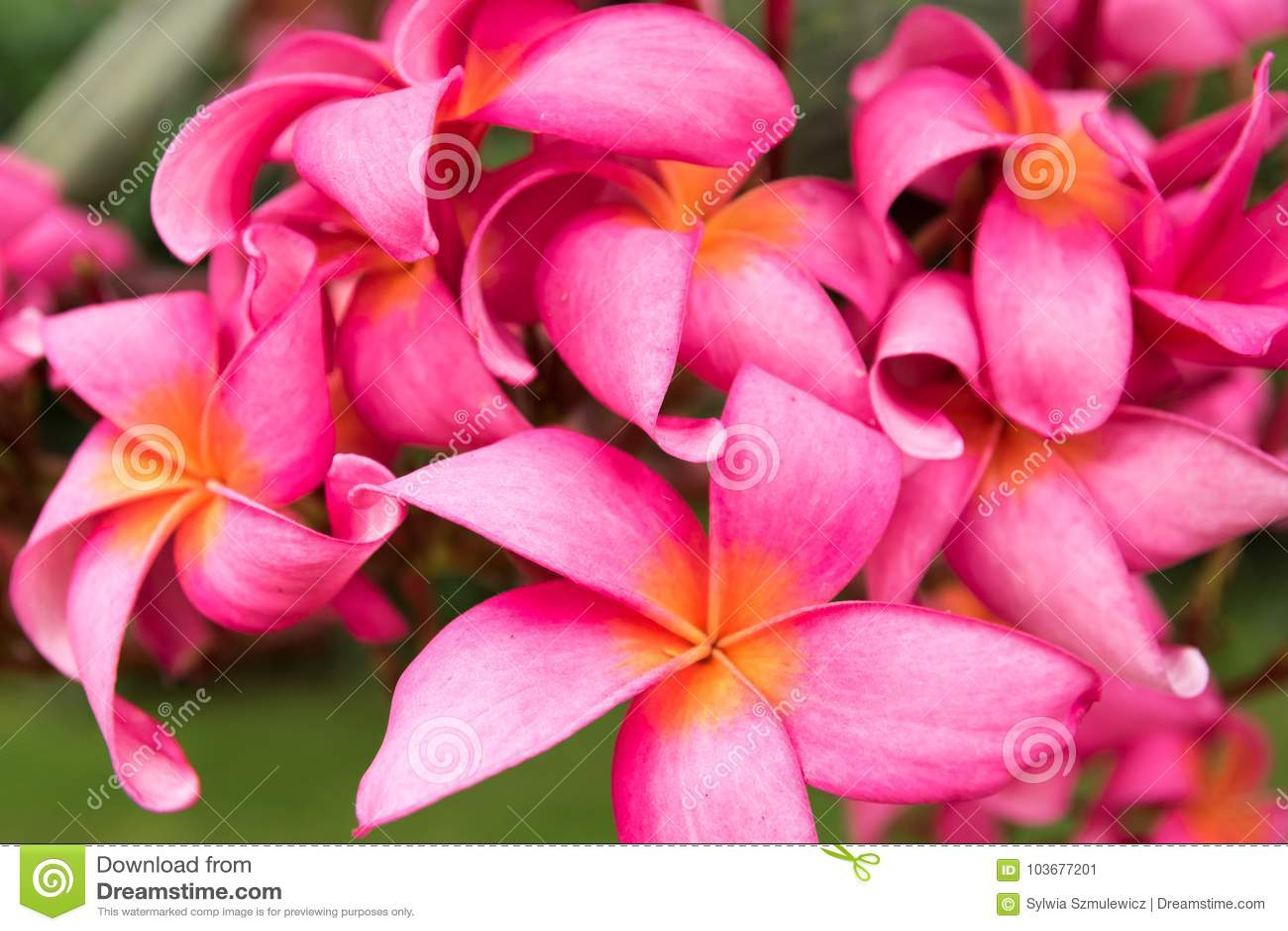Pink Wild Tropical Asian Frangipani Flower Stock Image