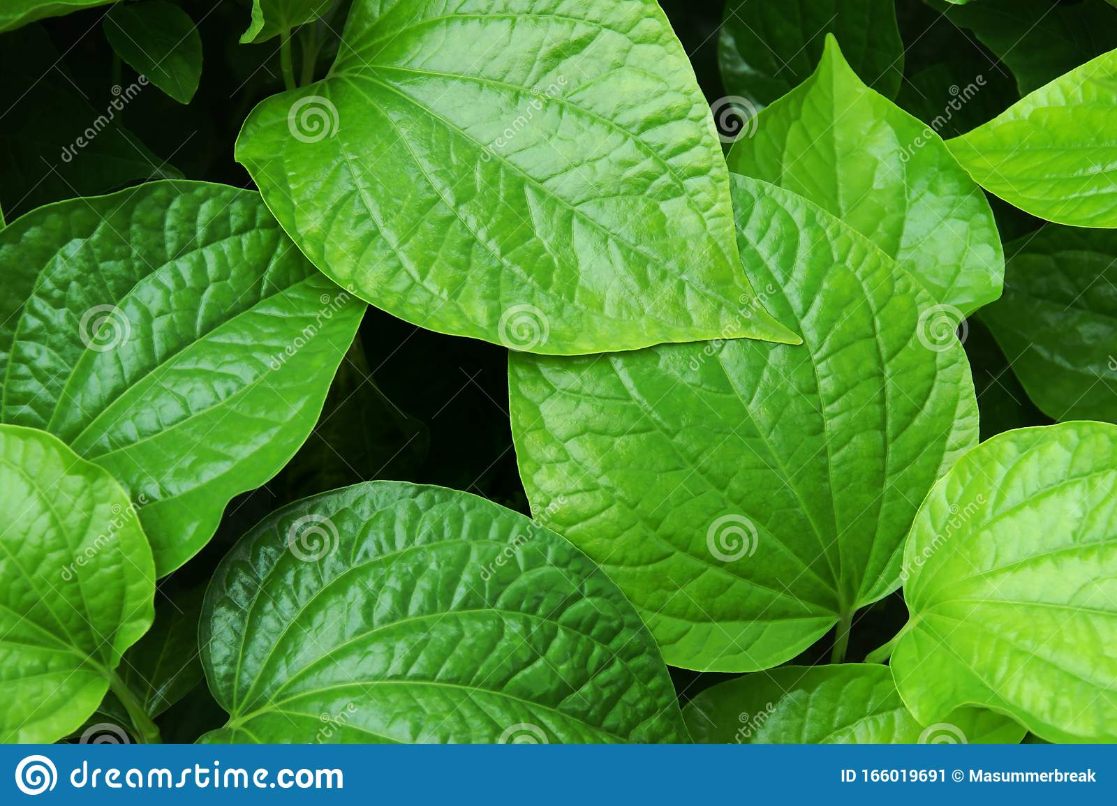 Tropical Fresh Green Leaves Foliage Of Edible Plant Stock Image Image Of Food Green 166019691 Find over 100+ of the best free tropical leaves images. https www dreamstime com tropical fresh green leaves foliage edible plant tropical fresh green leaves foliage edible plant image166019691