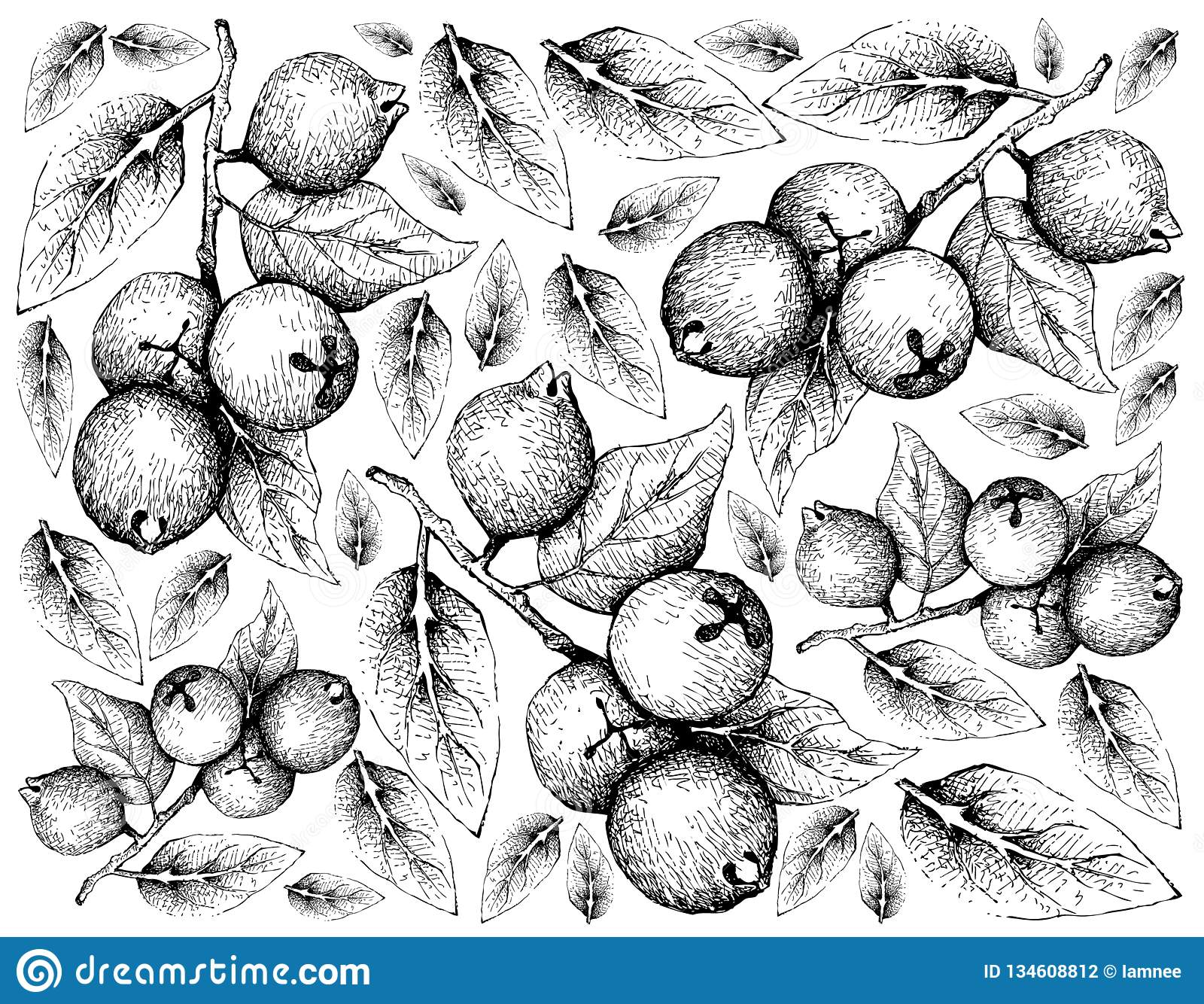 Hand Drawn Of Imbe Or Garcinia Livingstonei Fruits Stock Vector