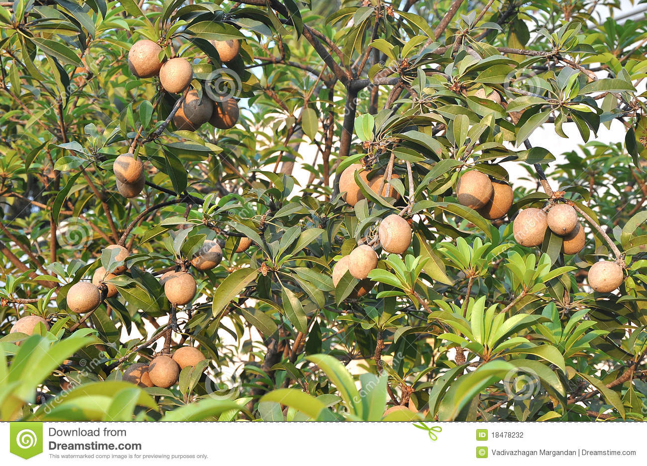 Tropical Fruits - Chiku Tree Stock Photography - Image: 18478232