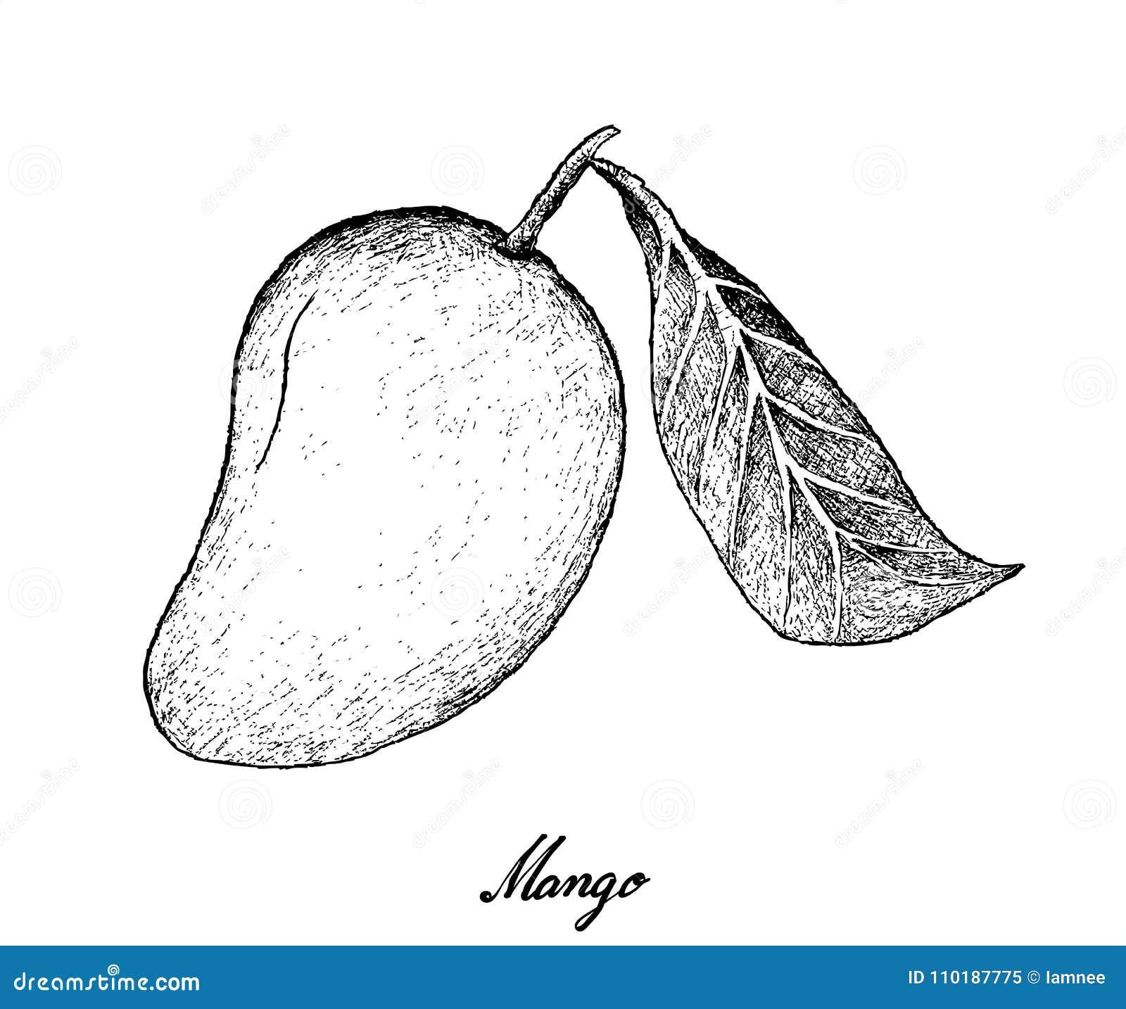 Tropical fruits illustration of hand drawn sketch fresh ripe mango fruits isolated on white background