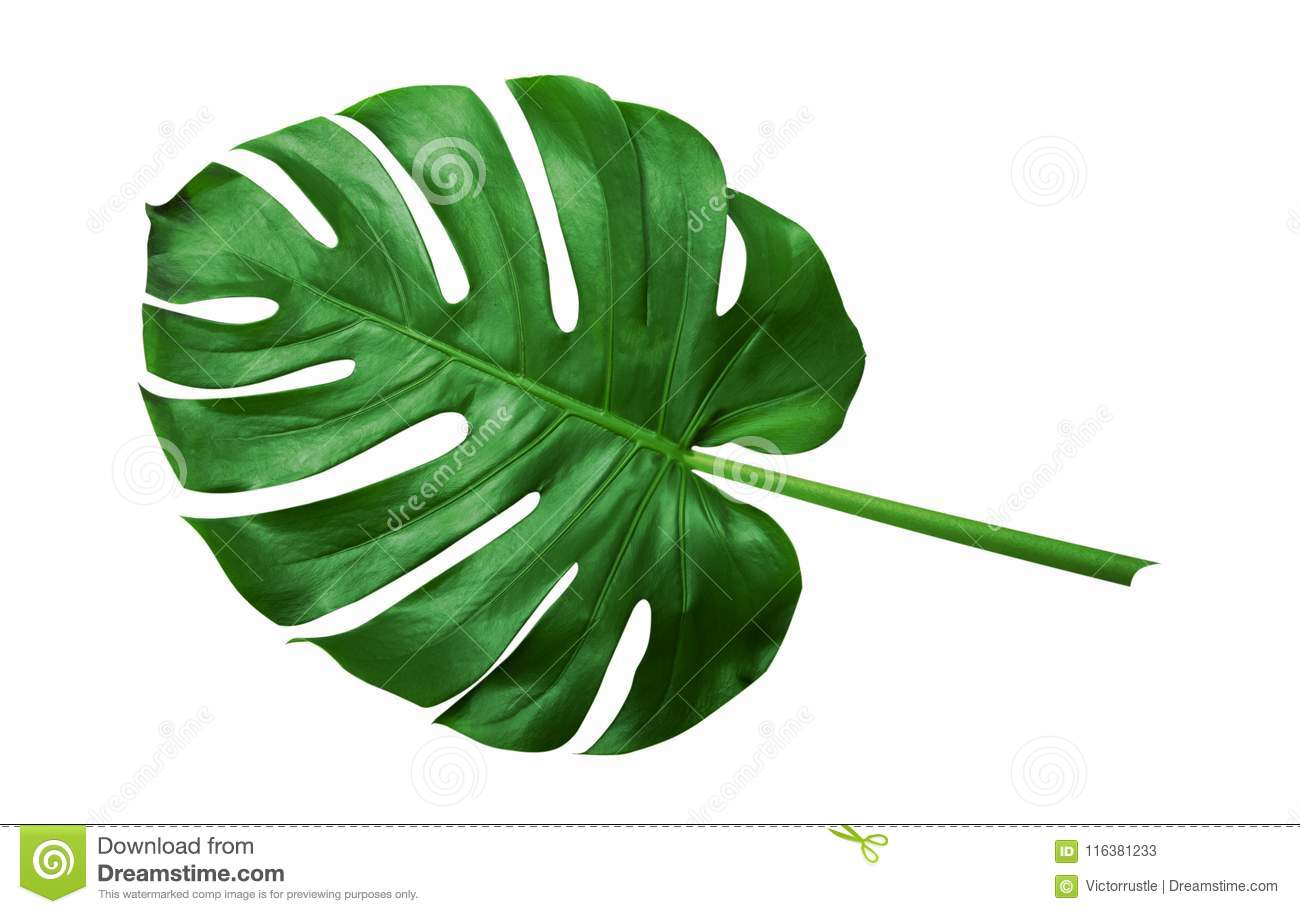 Tropical Green Leaves On White Background Stock Image Image Of Cosmetic Feathery 116381233 Find images of tropical leaves. https www dreamstime com tropical green leaves white background tropical leaves monstera isolated white background image116381233