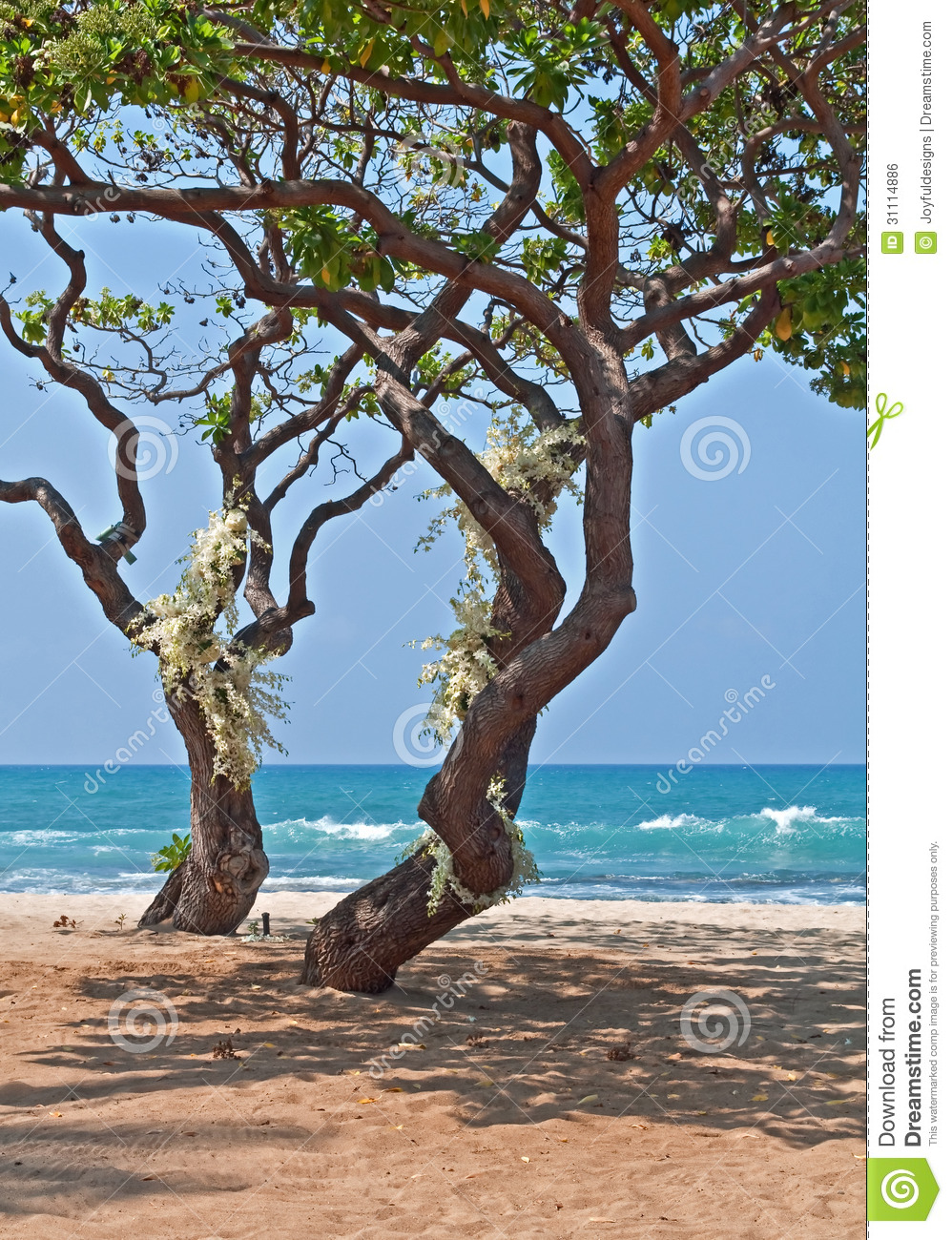 Tropical Heliotrope Trees With White Orchids On Beach
