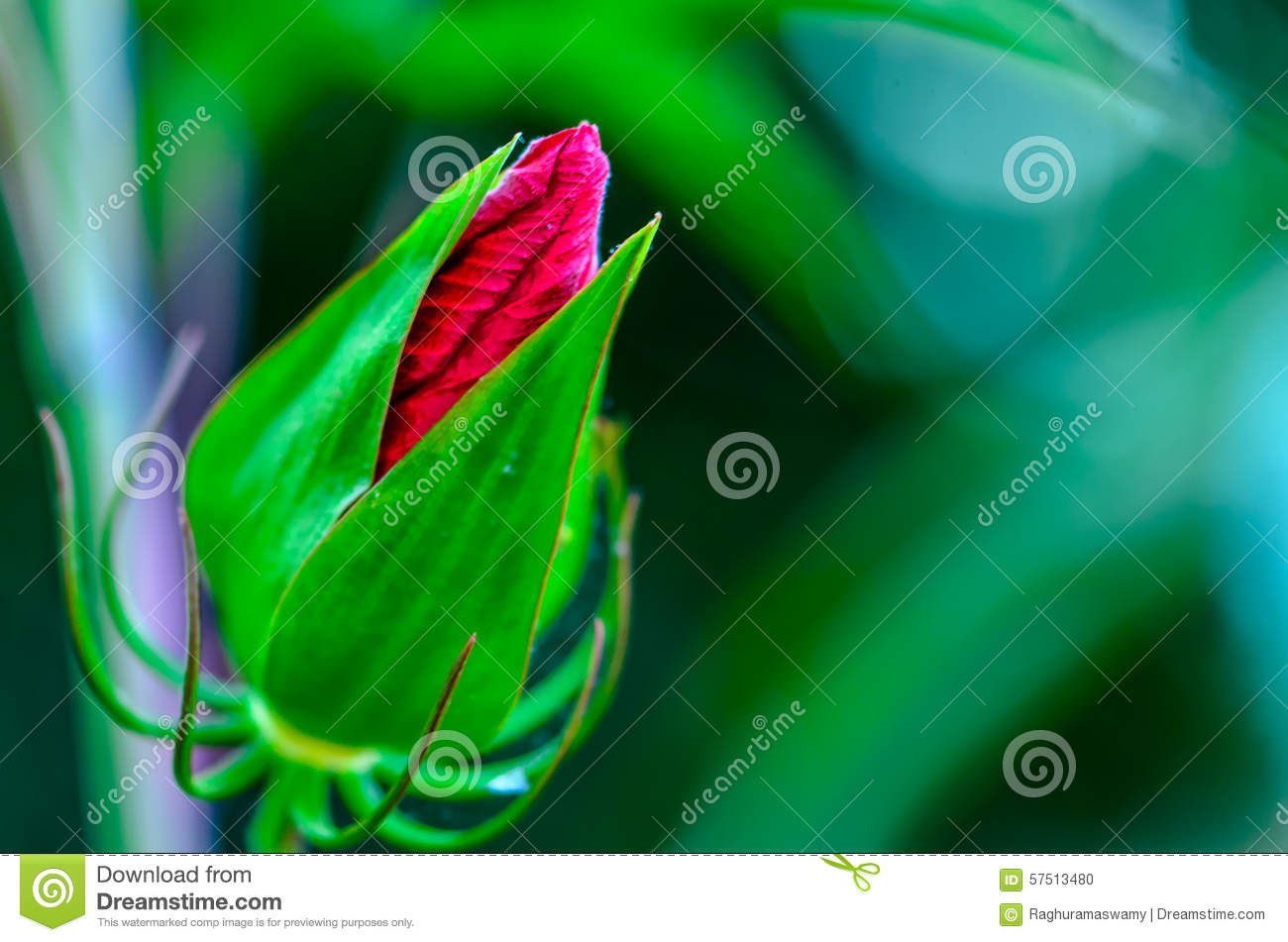 Tropical Hibiscus Flower Bud Stock Photo Image Of Stamen Formal