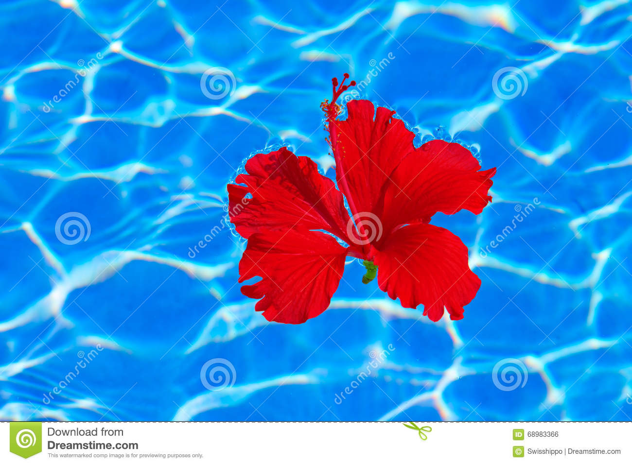 Tropical Hibiscus Flower In Water Stock Photo Image Of Lifestyles