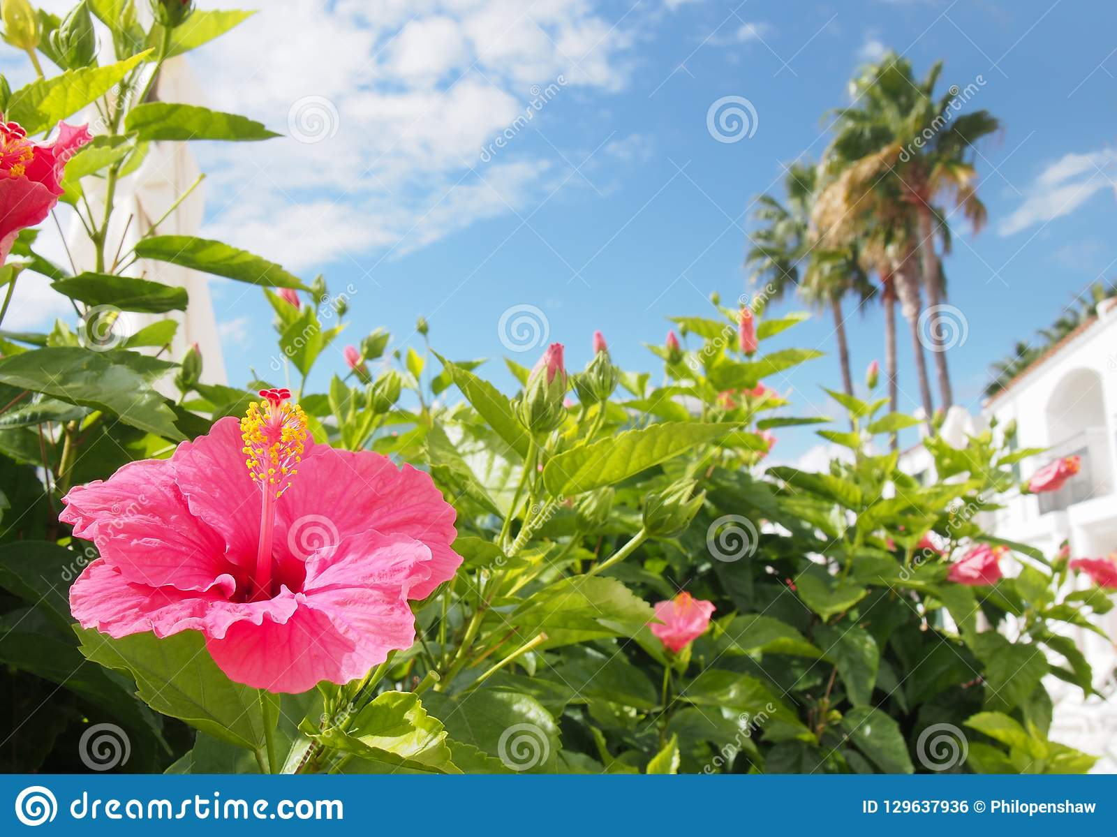 tropical holiday vacation scene with a bright pink hibiscus flower in front of white blurred buildings and palm trees againds a