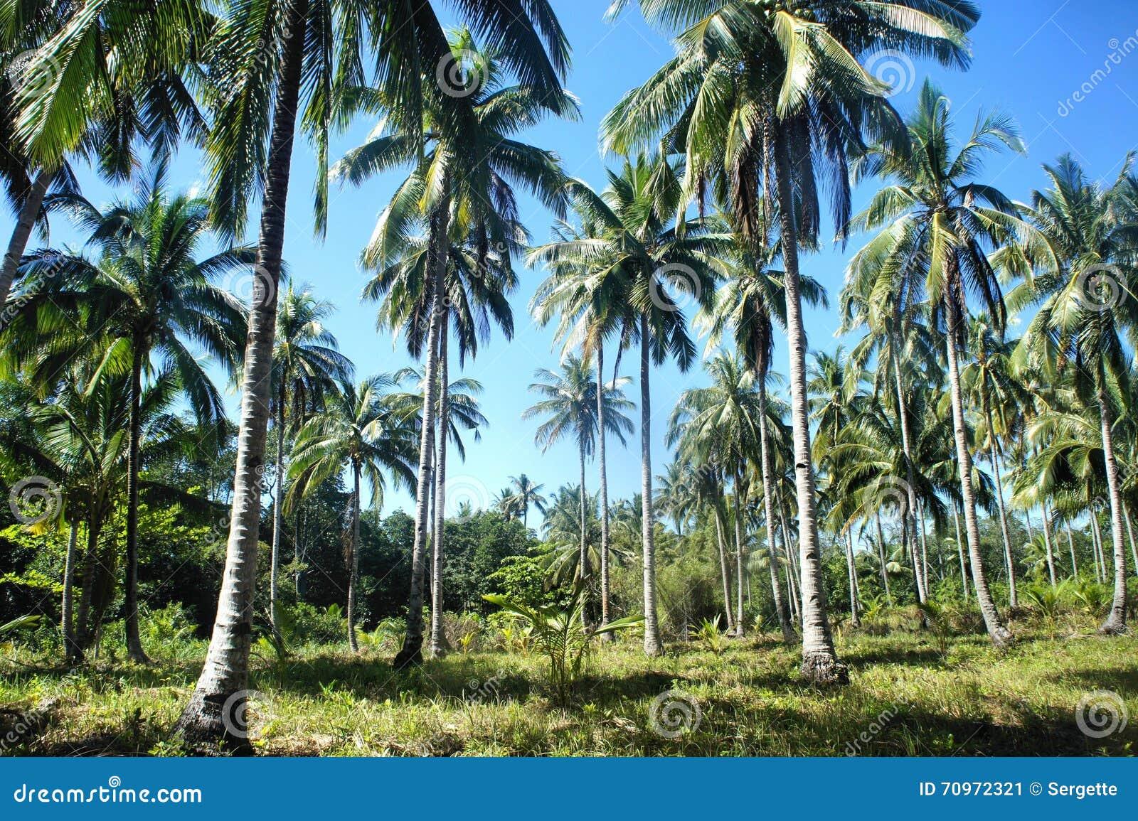 Tropical Landscape . Farm Of Coconut Trees . Stock Image