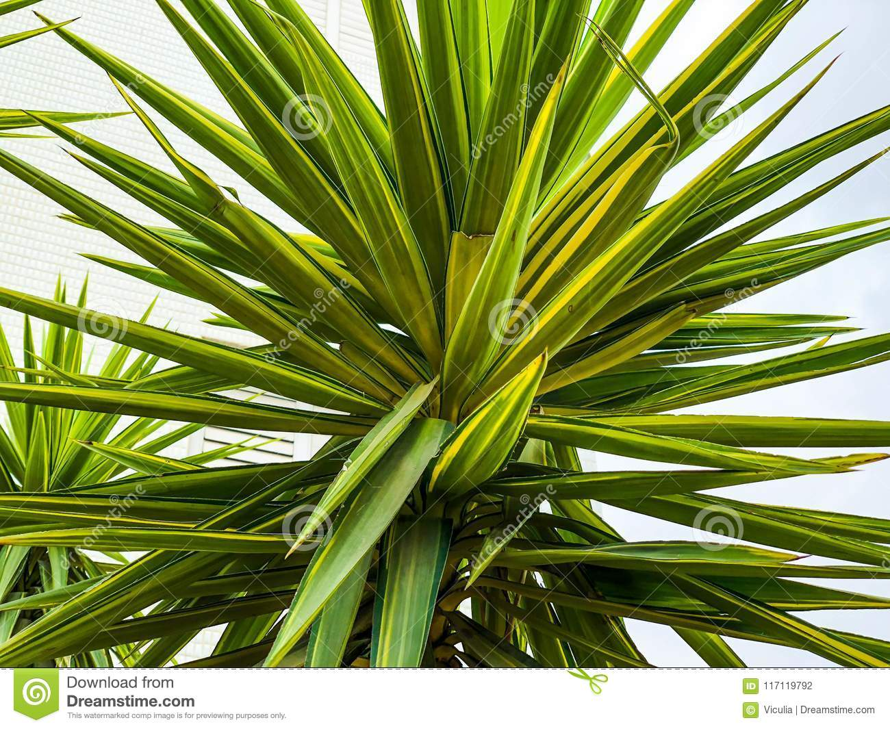Tropical landscape with palm trees. Palm crowns with green leaves close-up
