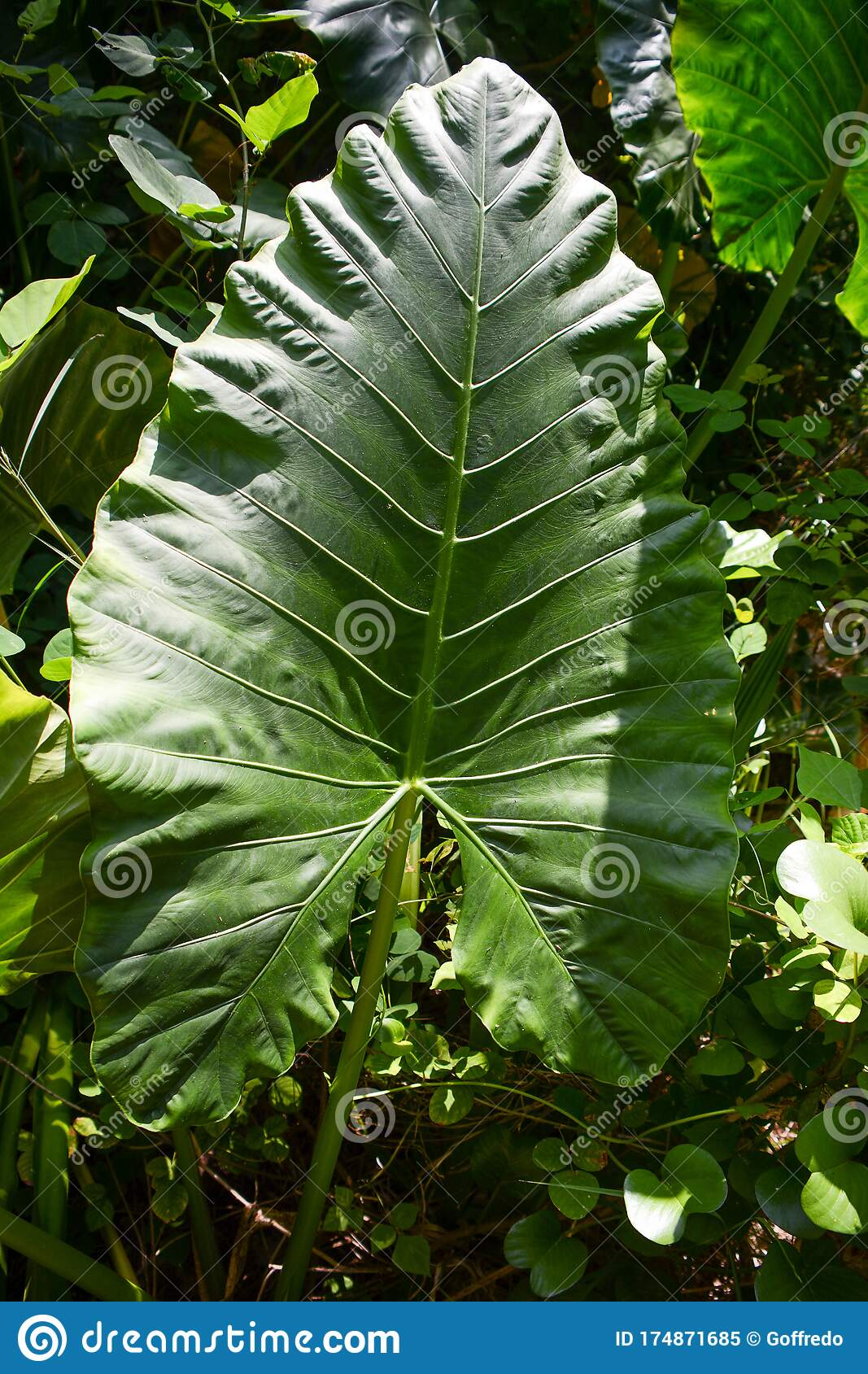 Tropical Leaf Stock Image Image Of Nature Palmata 174871685 Therefore, only a rough estimate can be given of the total number of species contained in these ecosystems. https www dreamstime com tropical leaf types wild leaves island image174871685
