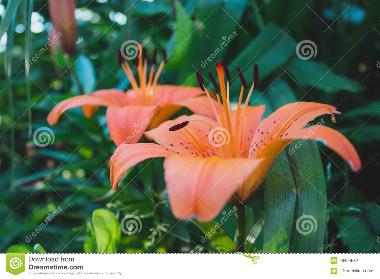 Tropical lily flowers stock photo image of flower nature 96454682 download tropical lily flowers stock photo image of flower nature 96454682 izmirmasajfo