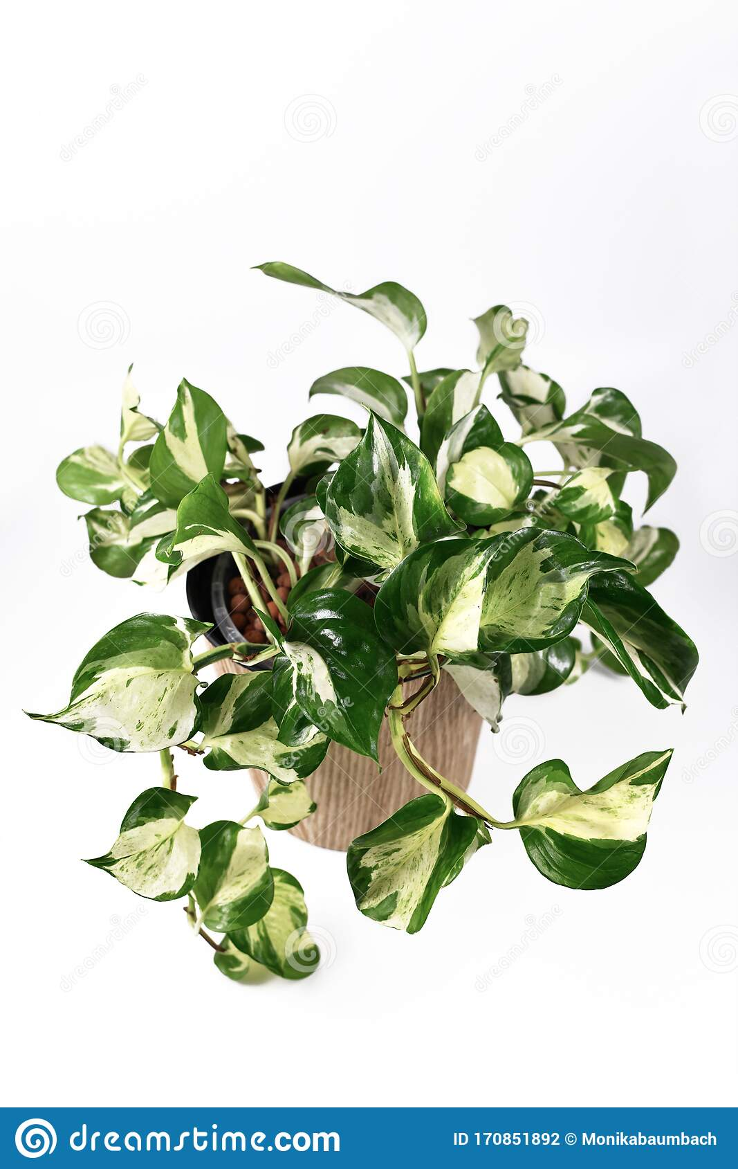 Tropical Manjula Pothos House Plant Also Called Happy Leaves In Natural Flower Pot On White Background Stock Photo Image Of Healthy Houseplant 170851892