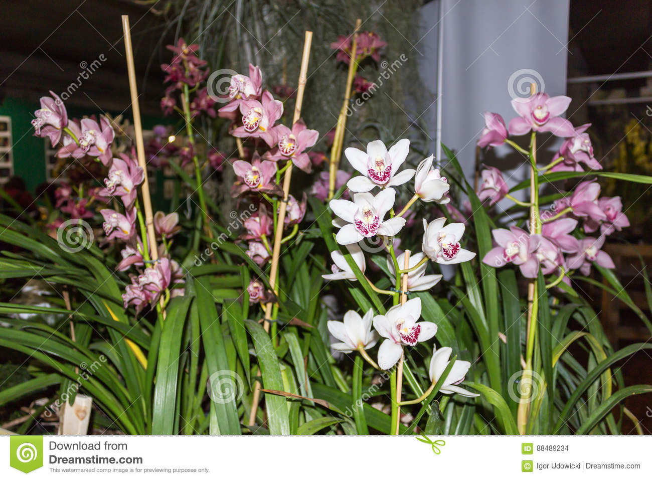 Tropical Orchid Is One Of The Most Beautiful Flowers On Earth Stock