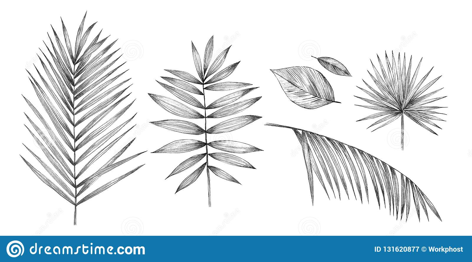 Tropical palm leaves on white background hand pencil