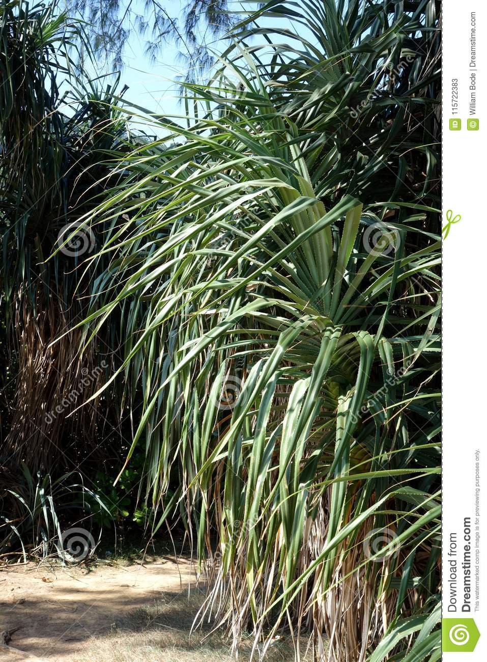 Tropical Palm Type Plant Pointy thin Leaf