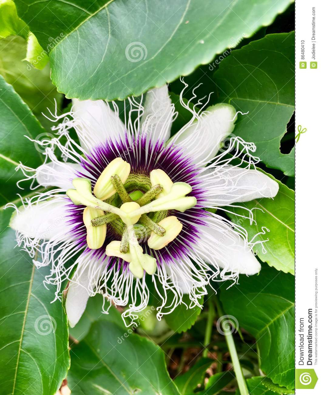 Tropical passion fruit flower up close in purple and white stock close flower fruit hawaii passion purple tropical white dhlflorist Images