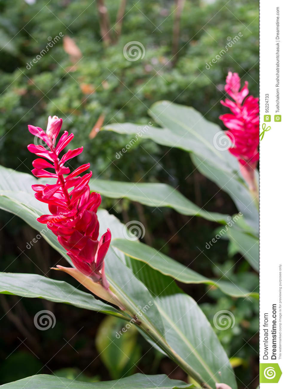 Tropical Patio Plants. Red Ginger. Alpinia Purpurata